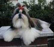 Shih Tzu grooming help
