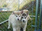 Alaskan Malamutes puppies ready to go now