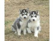 nice female and male Siberian Husky Puppies for Adoption
