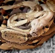 4 ft friendly female Common Boa with complete VIV needs a loving home